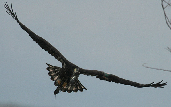 Eaglet Released By Aef Spotted In Pennsylvania Near Lake Erie