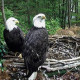 Bald Eagles Independence and Franklin sit on the edge of their nest at Dollywood's Eagle Mountain Sanctuary