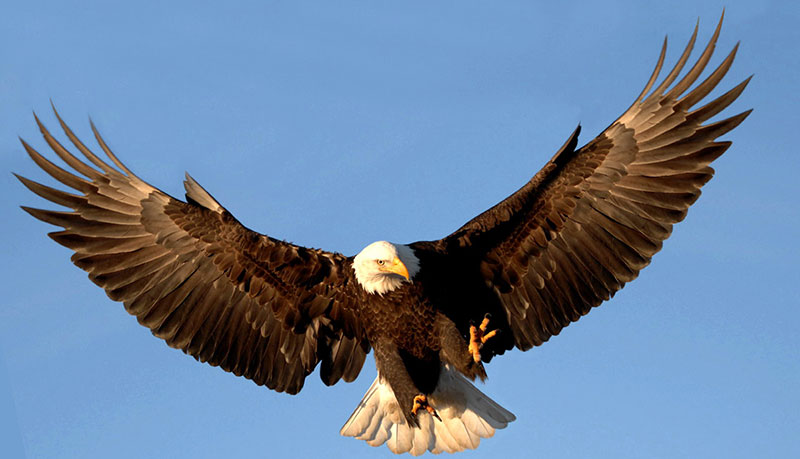 Learn About Eagles
