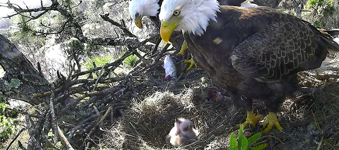 NE Florida Eagle Nest Cam