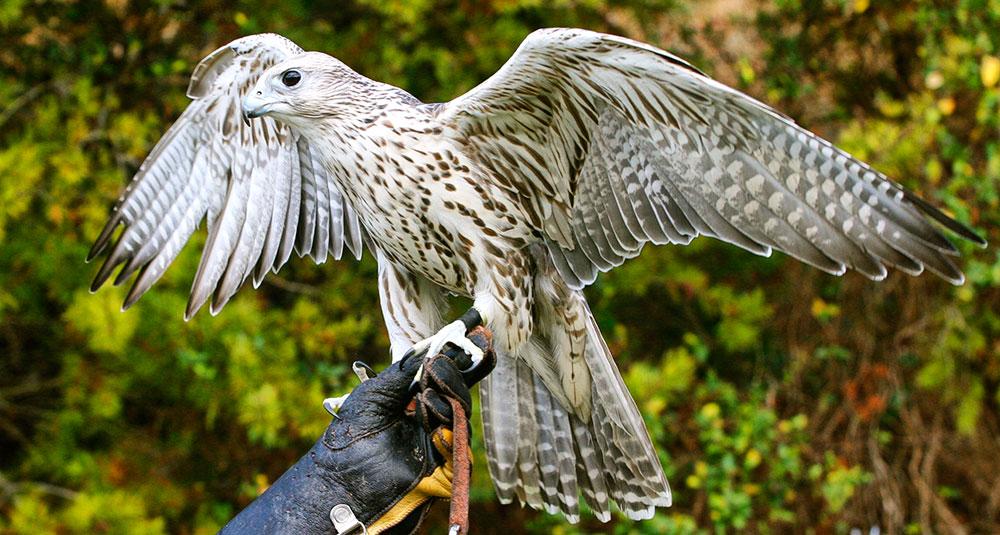 falcon eagle American Eagle Outfitters American Eagle Foundation Dollywood