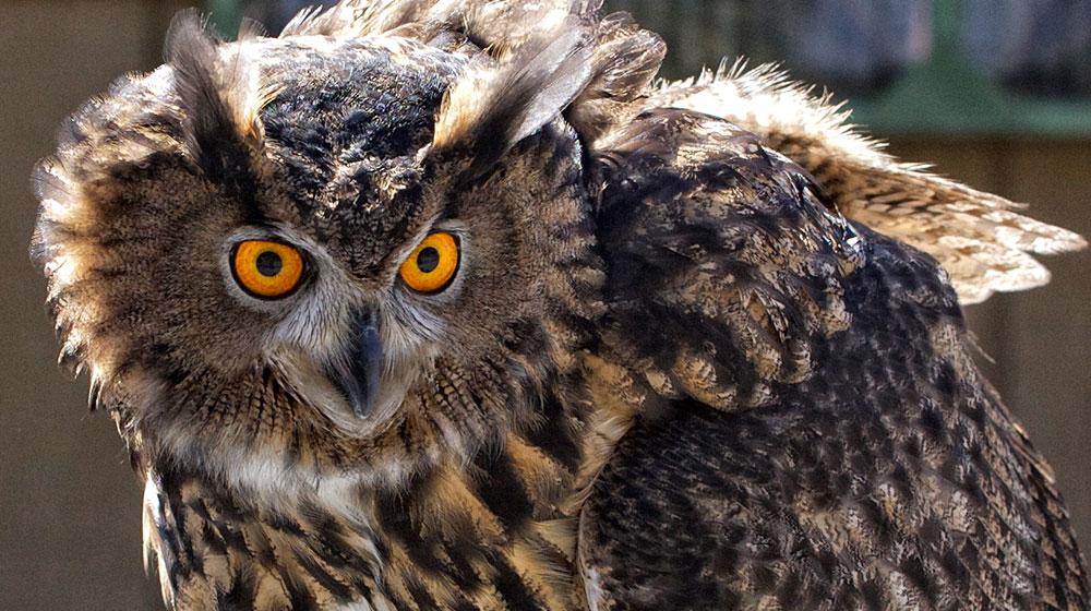 Owls American Eagle Foundation