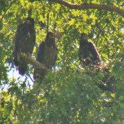 Eaglets hatched in the nest of Lady Independence and Sir Hatcher