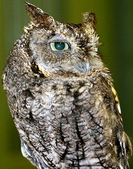 Jester, Screech owl