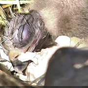Newborn eaglet
