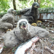 Three little eaglets