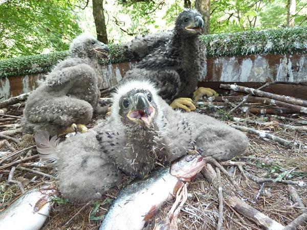 Three little eaglets