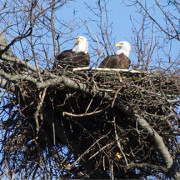 Bald eagle nest in Sevierville