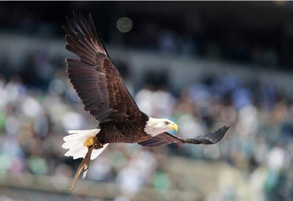 Bald Eagle Challenger Awes Crowd At Philadelphia Eagles
