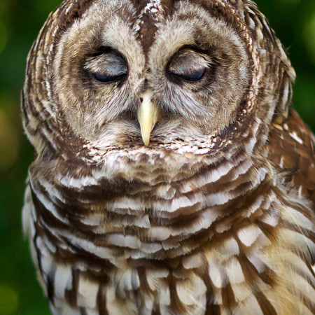 Barry, Barred Owl