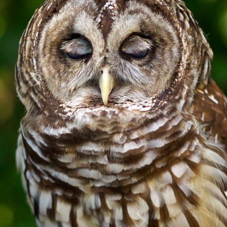 Barry, Barred Owl