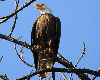 Dad Eagle -