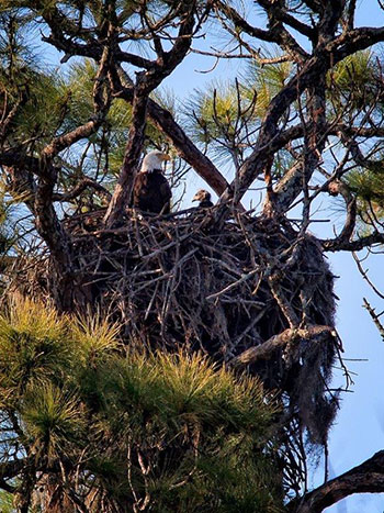 Dad with 6-week-old eaglet in nest.