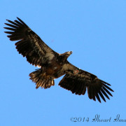 Juvenile eagle, Destiny, was sighted in Ohio.