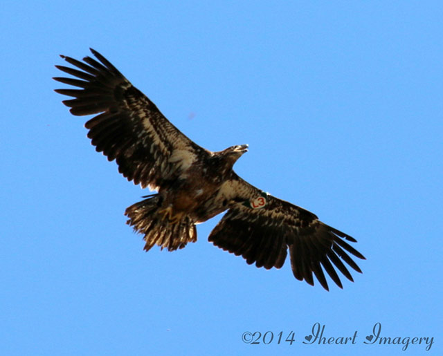 Juvenile Eagle Destiny Sighted In Ohio American Eagle Foundation