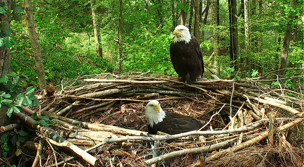 Frank and Indy — they have successfully hatched and raised many eaglets.