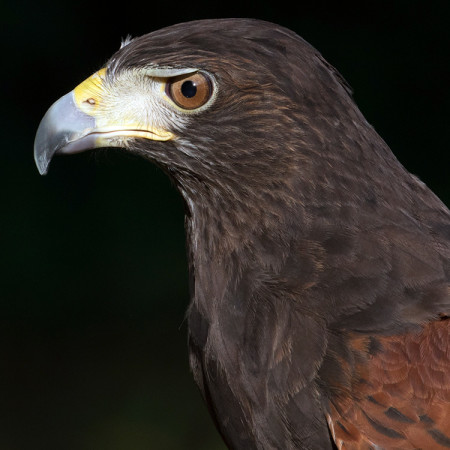 Jagger, Harris's Hawk