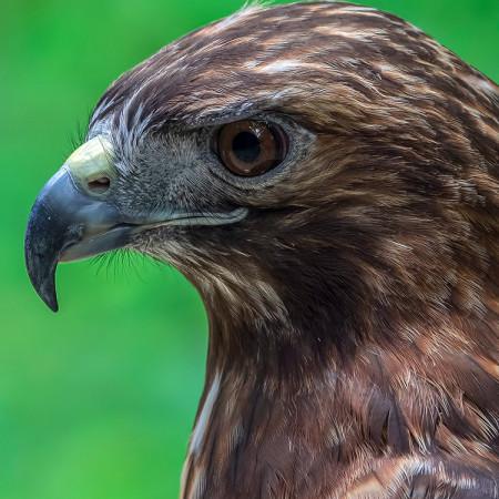Jesse, Red-Tailed Hawk