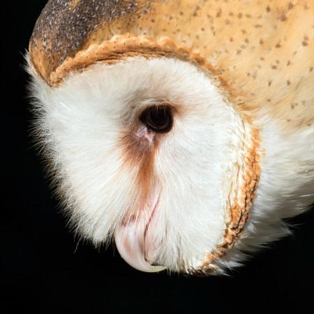 Jupiter, Barn Owl