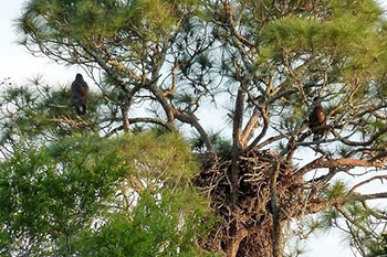 Juveniles from the nest practicing flight behaviors (branching)