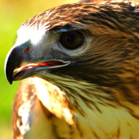 Keowah, Red-Tailed Hawk
