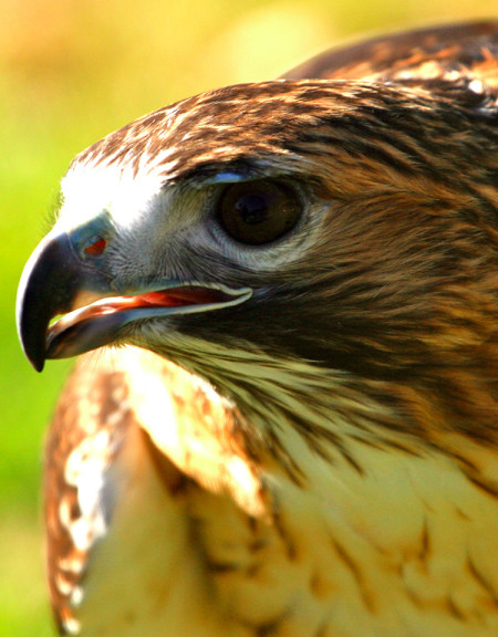 Keowah, Red-Tailed Hawk