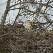 The second part of the story focuses on a pair of wild Bald Eagles who, in 2012, built a nest in a tree on Winfield Dunn Parkway close to a Kroger supermarket in Sevierville, TN.