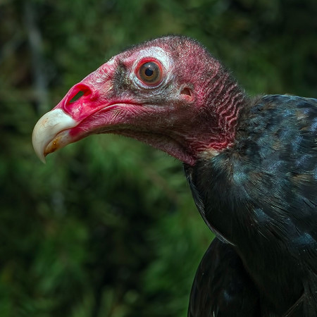 Lilly, vulture