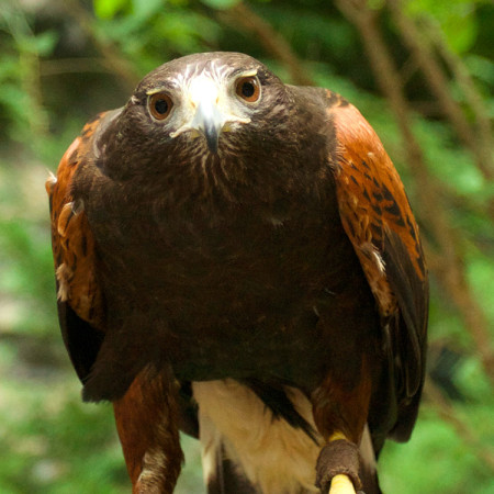 Maverick, Harris's Hawk