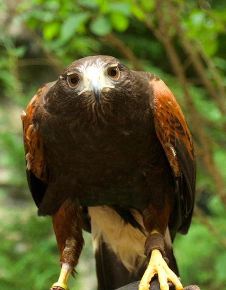 Maverick, Harris's Hawk