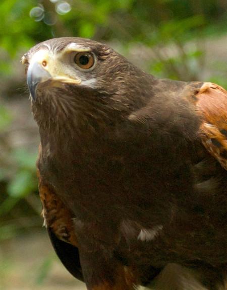 Mikie, Harris's Hawk