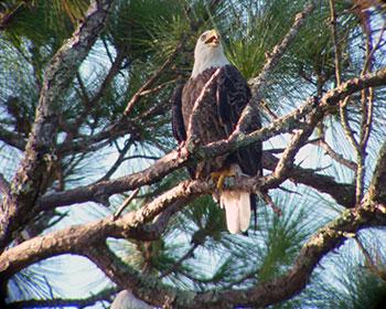 Mom Eagle -