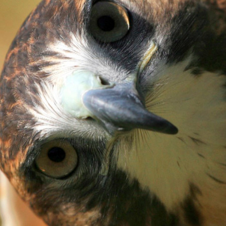 Orion, Red-Tailed Hawk