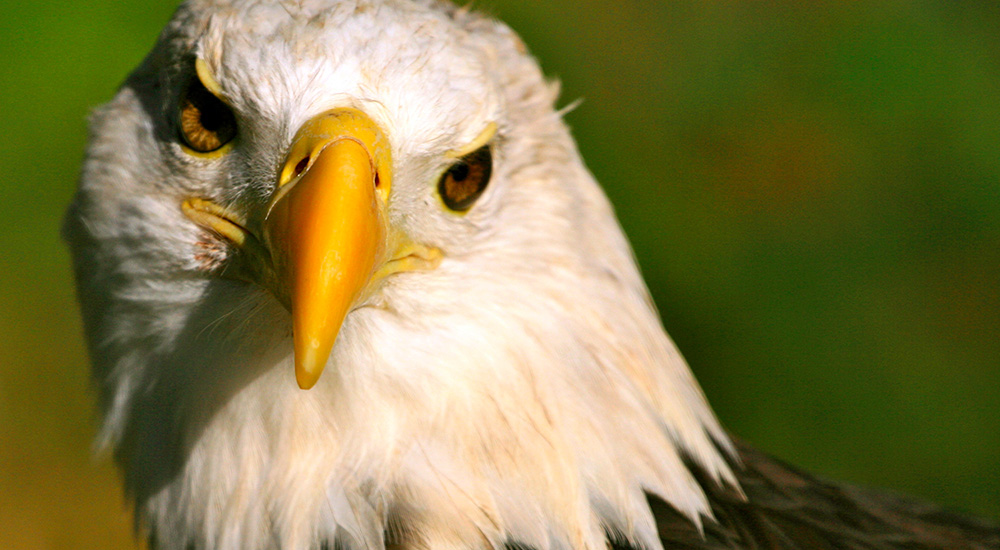 Osceola American Eagle Foundation