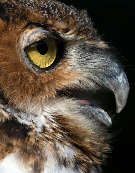 Owltilla, Great Horned Owl