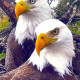Romeo & Juliet, Bald Eagles