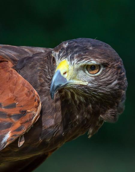 Sundance, Harris's Hawk