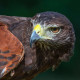 Sundance, Harris's Hawk