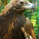 Tecumseh - Golden Eagle