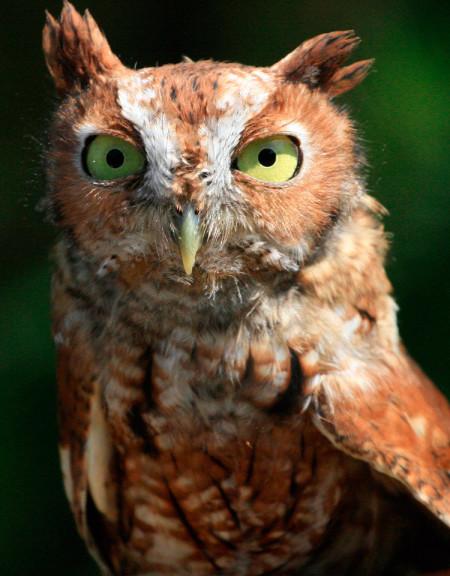 Tyson, Eastern Screech Owl