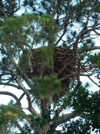 The nest sits about 80' up in a tall pine tree.