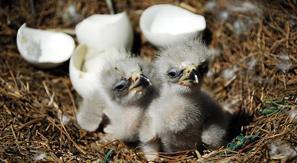 Eagle Egg Hatching Captive Eagle Breeding...