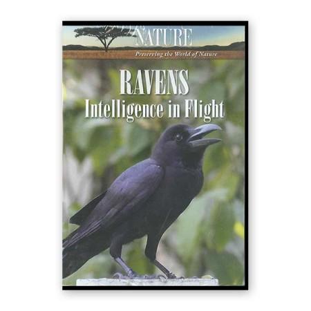 Ravens - Intelligence in Flight