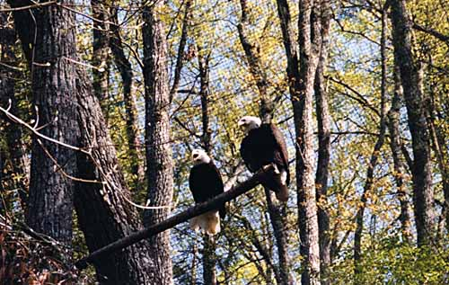 Liberty & Justice, Bald Eagles