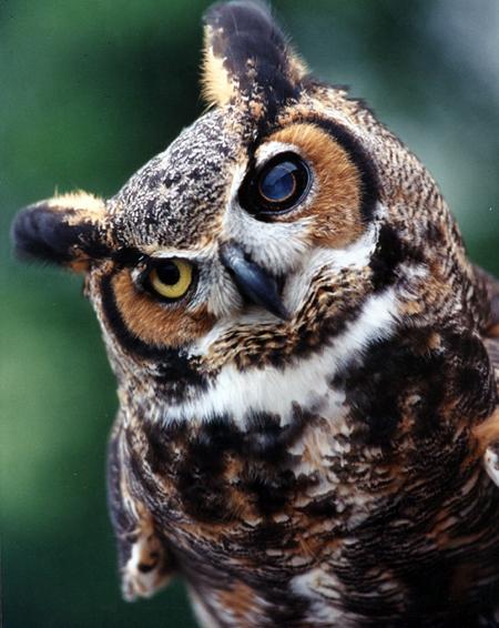 Owl-x