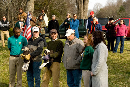 Release of rehabilitated Bald Eagles