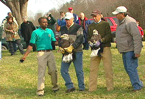 Release of Bald Eagles
