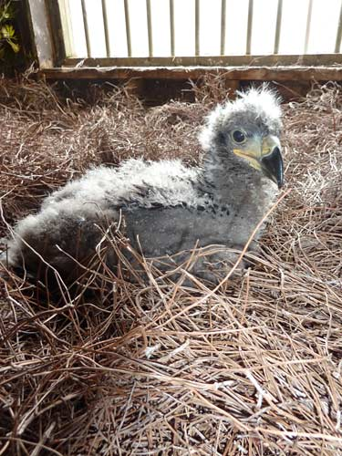 Eaglet settles down on fresh pine needles in the hack tower.