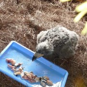 Eaglet enjoys a meal of trout.