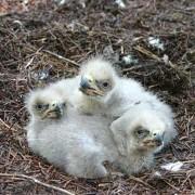 Eagle Triplets